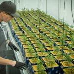 Nielegalne, ale podlegające opodatkowaniu: Medyczna hodowla marihuany